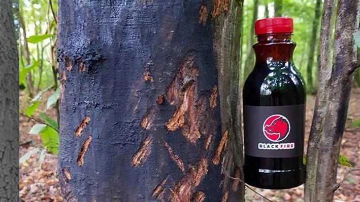 Beech tar smeared on the tree